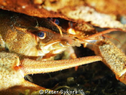 Crayfish by Peter Sykora 